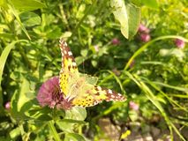 A colorful butterfly sitting on a flower. The background in the back is forced to highlight the butterfly stock images