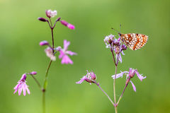 Colorful butterfly. Sitting on pink flower Stock Image