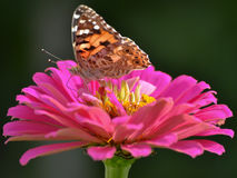 A colorful butterfly sitting on a pink and yellow flower on a dark background. Butterfly sitting on a pink flower Stock Image