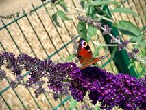 Butterfly sitting on a purple flower. Colorful butterfly sitting on a purple flower Royalty Free Stock Images