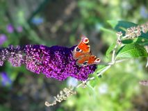 Butterfly sitting on a purple flower. Colorful butterfly sitting on a purple flower Stock Photography
