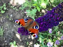 Butterfly sitting on a purple flower. Colorful butterfly sitting on a purple flower Stock Photo