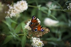 Colorful butterfly sitting on white flower bush. In garden Royalty Free Stock Image