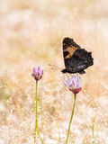 Colorful butterfly small tortoiseshell (Aglais urticae) on a flo Stock Photo