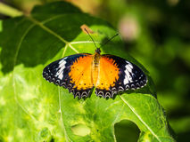 Colorful butterfly with straight winngs on the green leaf. Colorful butterfly with straight winngs on the green leaf with the shade of sunlight Stock Image