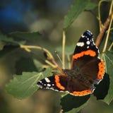 Colorful butterfly vanessa atalanta stock photos