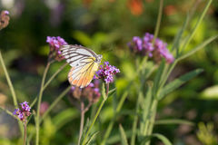 Colorful butterfly on Verbena flower Stock Photo