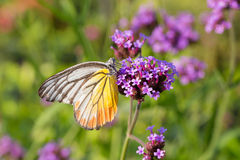 Colorful butterfly on Verbena flower Royalty Free Stock Photography