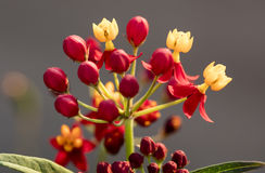 Colorful Butterfly Weed Royalty Free Stock Image