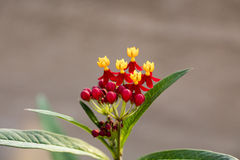 Colorful Butterfly Weed Stock Photo