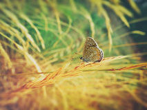 Colorful  butterfly on wheat Stock Photography