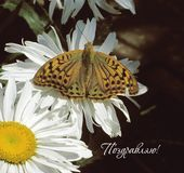 Butterfly and camomile-rus. Colorful butterfly on a white camomile royalty free illustration