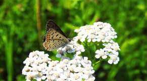 Colorful butterfly on white flower in meadow , Lithuania Stock Photography