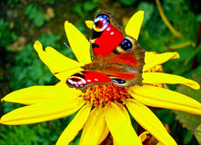 Colorful butterfly on a yellow blossom