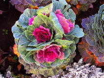 Colorful cabbage flower. Royalty Free Stock Photography