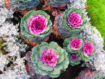 Colorful cabbage flowers of different sizes. Stock Photo