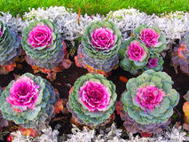 Colorful cabbage flowers of different sizes grow in rows. Royalty Free Stock Photography