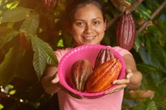 Colorful cacao farm theme. Young girl holding cocoa fruits royalty free stock photography