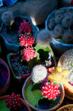 Colorful cacti cactus plants Stock Image