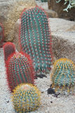 Colorful cactus Stock Images