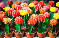 Colorful cactus is beautiful  in the farm. Colorful small cactus is beautiful  in the farm Royalty Free Stock Photo