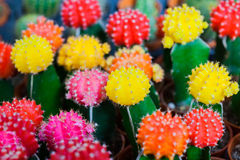 Colorful cactus is beautiful  in the farm. Colorful small cactus is beautiful  in the farm Stock Photos