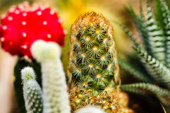 Colorful Cactus Close up Stock Images