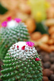 Colorful cactus, close up image of rows of cute colorful miniatu Stock Image