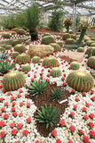 Colorful cactus field Stock Images