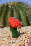 Colorful cactus in the garden Stock Image