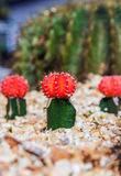 Colorful cactus in the garden Stock Photo