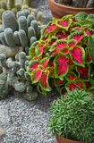 Colorful cactus garden Royalty Free Stock Photos