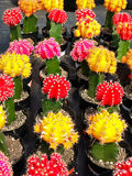 Colorful cactus plants Stock Photography