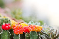 Colorful cactus Royalty Free Stock Images