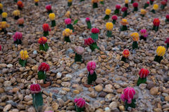 Colorful Cactus Stock Photos