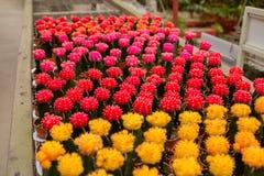 Colorful cactus. On a shop Stock Photos