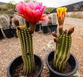 Colorful Cactuses Of Arizona Near Sedona Royalty Free Stock Photo