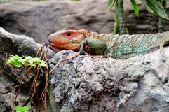 Colorful Caiman Lizard Stock Photography