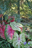 Colorful Caladium Leaves - Araceae. These are colorful caladium, Araceae, leaves in shades of green,white, pink, magenta, burgundy, and red, that are growing Stock Photos