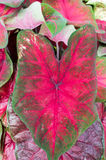 Colorful Caladium leaves on the plant Royalty Free Stock Images