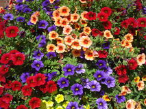 Colorful calibrachoa background. Calibrachoa is a genus of plants in the Solanaceae (nightshade) family and originates from South America.  They are closely Stock Photos