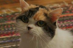 Playful Calico Scottish Fold Cat. royalty free stock photos
