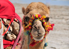 Funny face of a colorful camel at the beach in Tun Stock Image