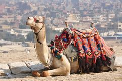 Colorful camel in Cairo, Egypt. Close to the great pyramids in Egypt, through the Sahara desert Royalty Free Stock Image