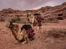 Colorful camels wait to take tourists for a ride royalty free stock photos
