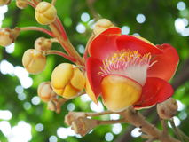 Colorful Cannonball Tree Flower Royalty Free Stock Images