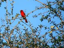 Colorful Cardinal Stock Photography