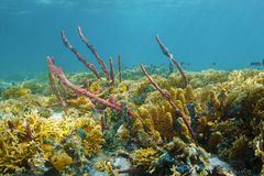 Colorful Caribbean coral reef underwater in Panama Stock Image