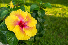 Colorful caribbean flower. Stock Image