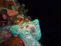 Caribbean Reef Octopus, Bonaire, Netherlands Antil Stock Photo